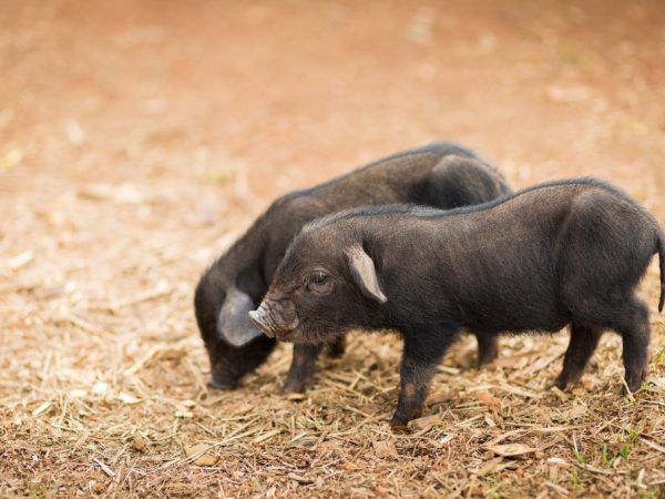 Корейские поросята, корейские свиньи (фото и видео)