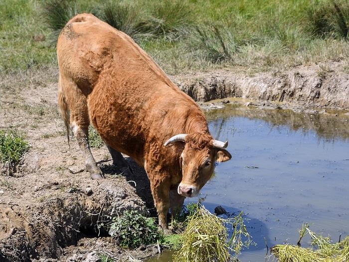 Корова лимузин особенности породы