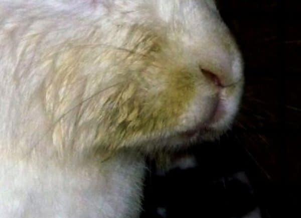 Как лечить мокрец у кроликов