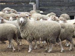 Породы овец характеристика разновидности