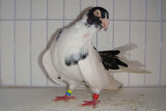 Курские голуби отличительные особенности