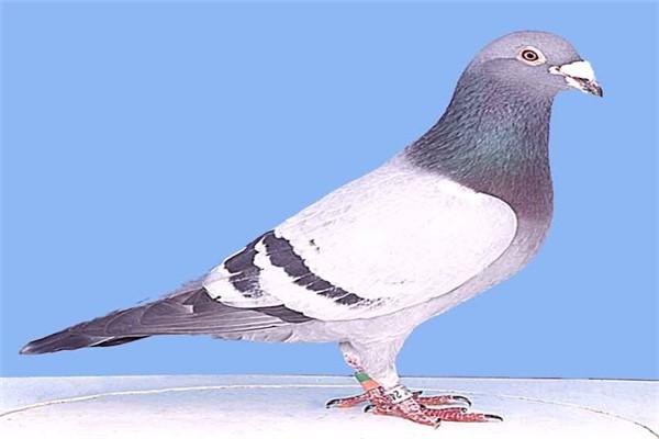 Городские голуби: полиморфизм и стратегии выживания