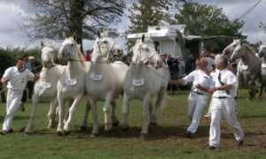 Описание лошадей породы Бардиджано, фото