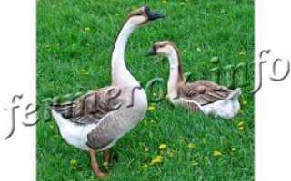 Распространенные породы гусей