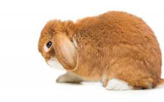 Как лечить ушную чесотку у кролей