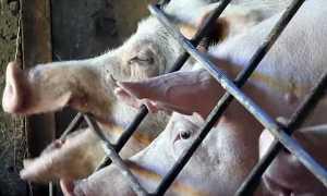 Муромские свиньи, фото: описание, характеристика