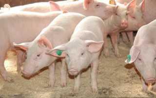 Темворс, порода свиней: фото, характеристика, описание