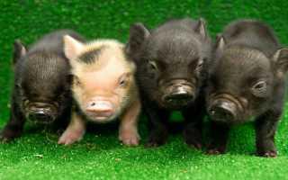 Порода карликовой гвинейской свиньи мини-пиг