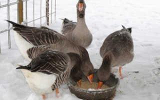 Чем нужно кормить гусей зимой