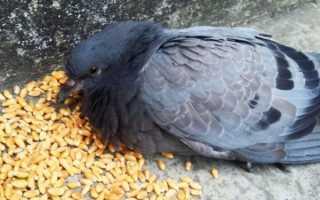 Что можно есть голубям
