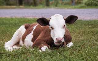 Как содержать коров в сухостойный период
