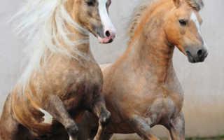 Порода лошадей – Уэльский пони: фото, описание