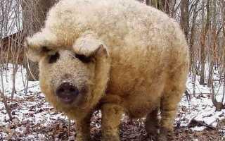 Необычная и экзотическая порода свиней Венгерская Мангалица