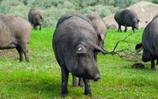 Характеристика породы свиней Мангал