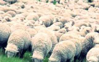 Описание породы Тонкорунных овец
