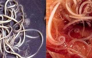 Симптоматика и лечение аскаридоза у свиней