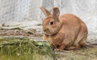 Процедура кастрации кроликов