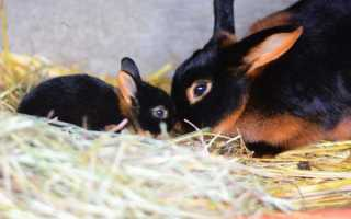 Особенности черно-огненного кролика