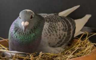 Каким способом размножаются голуби