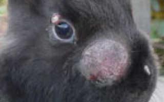 Как бороться с миксоматозом у кроликов