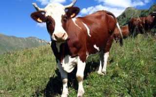 Сколько весит корова в среднем