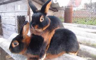 Порода кролика черно огненный: фото, описание