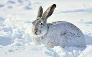В чем отличие зайца от кролика