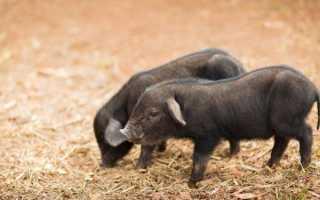 Описание свиней породы Кармал