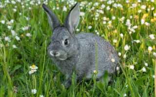 Особенности кролика Шиншилла