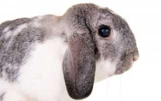 Уход за вислоухим карликовым кроликом породы баран