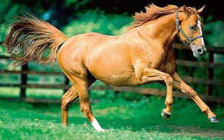 Описание лошадей породы Донская, фото