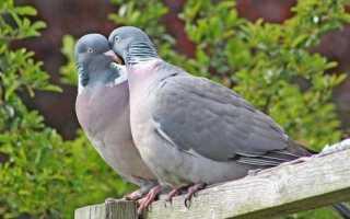 Как можно отличить голубя от голубки