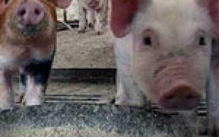 Классическая чума свиней и ее последствия