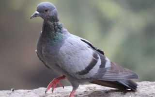 Причины сальмонеллеза у голубей