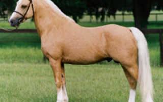 Описание пони Уэльской породы