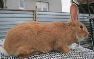 Описание кроликов Бургундской породы