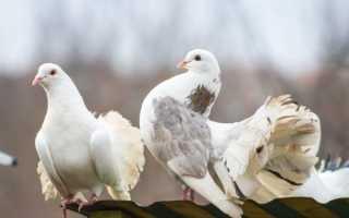 Особенности голубей породы Ижевские высоколетные