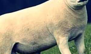 Описание овец породы Тексель