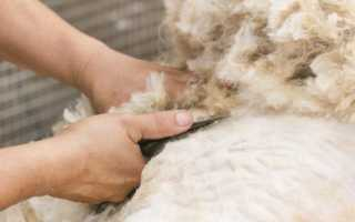 Когда и зачем стригут баранов и овец