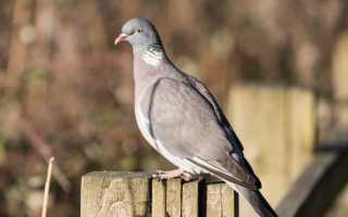 Характеристика голубя Вяхирь