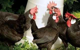 Курицы породы Минорка