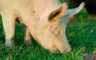 Характеристика породы свиней Йоркшир
