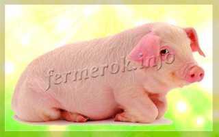 Основные мясные породы свиней