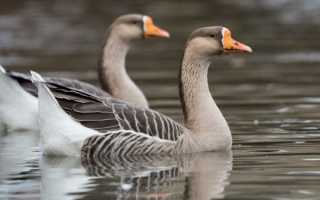 Особенности кубанских гусей