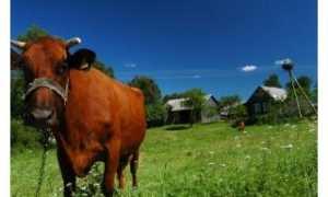 Бурая Латвийская порода коров: фото, описание