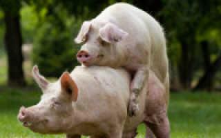 Сколько дней гуляет свинья и как проверить эффективность случки