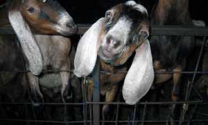 Порода нубийских коз