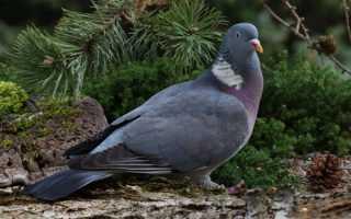Секреты охоты на голубей