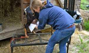 Правила дойки козы перед окотом и сразу после него