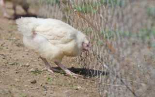 Распространенные болезни цыплят